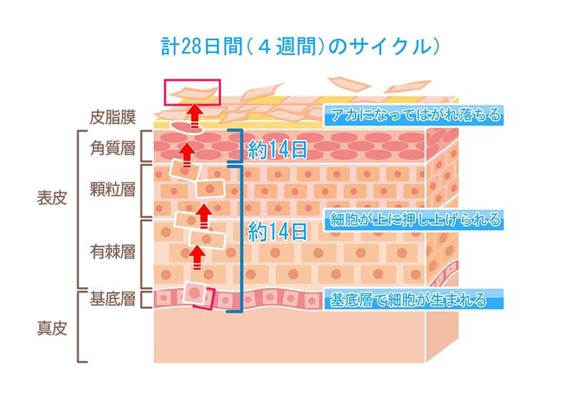 皮膚が一定のサイクルで生まれ変わるターンオーバーのイメージ画像